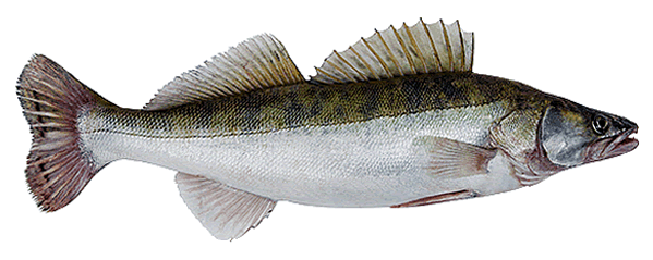 Maumee River Walleye Guide