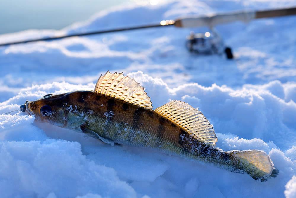 Ice Fishing Lake Erie Walleye