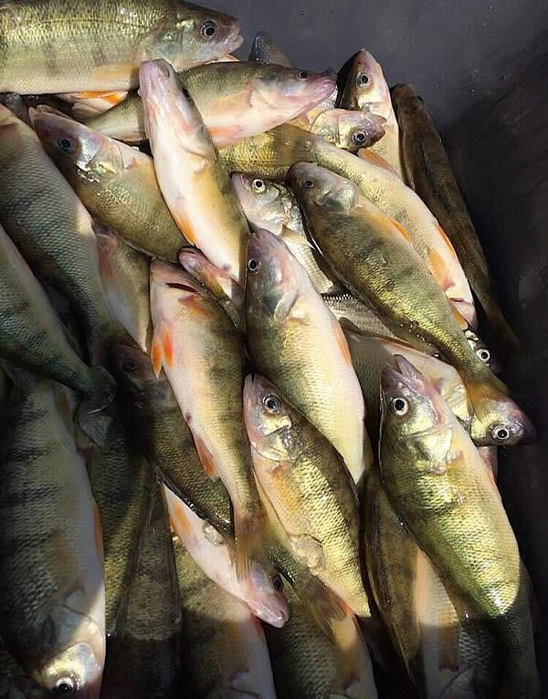Lake Erie Yellow Perch Charter